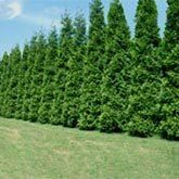 Fastest Growing Trees on Fast-Growing-Trees.com