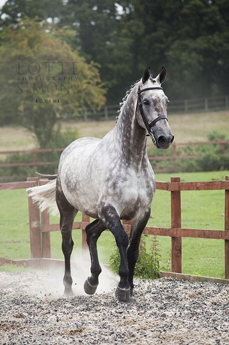 Die besten 25 hannoveraner pferd ideen auf pinterest for Dujardin 817