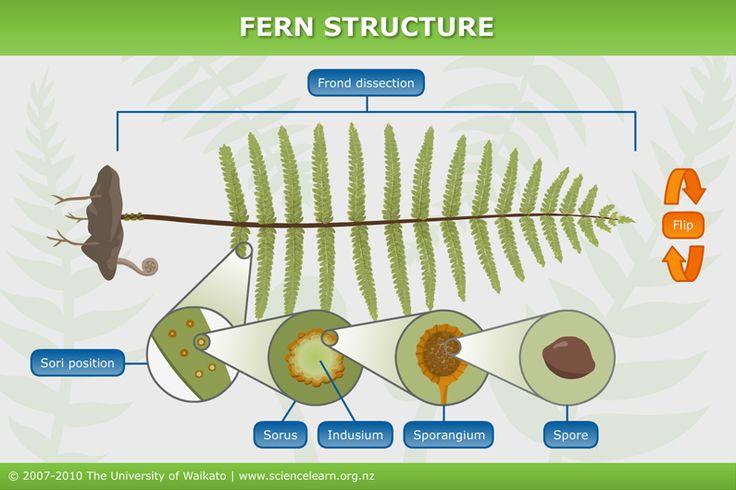 Fern structure   Sciencelearn Hub