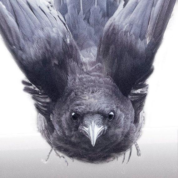 Kommen direkt bei Ihnen Krähe im Flug fotografieren von junehunter