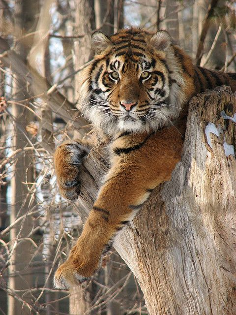 Bengal tiger, relaxing in a tree