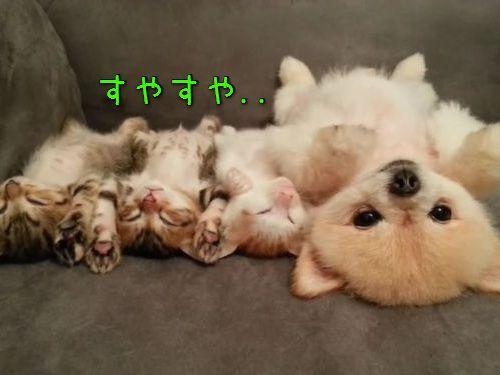 子猫と子犬をあお向けに寝かせると…ああ、たまらない!(動画):らばQ