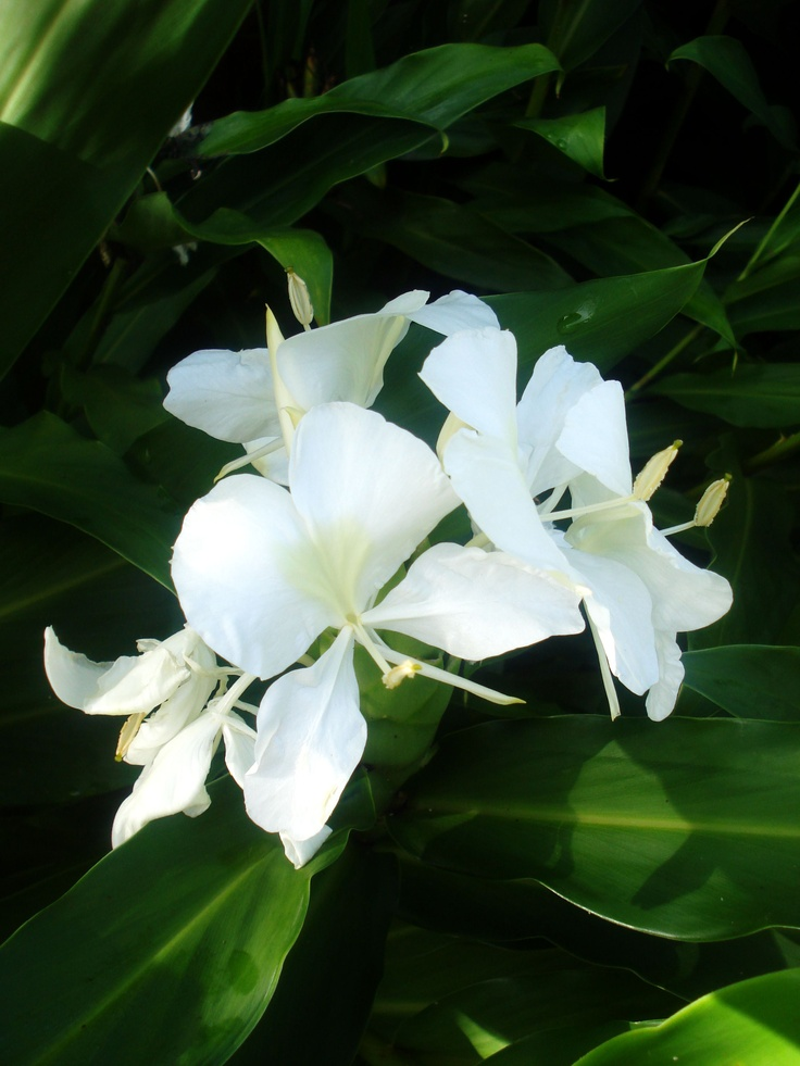 Cuba white ginger lily, butterfly / mariposa blanca