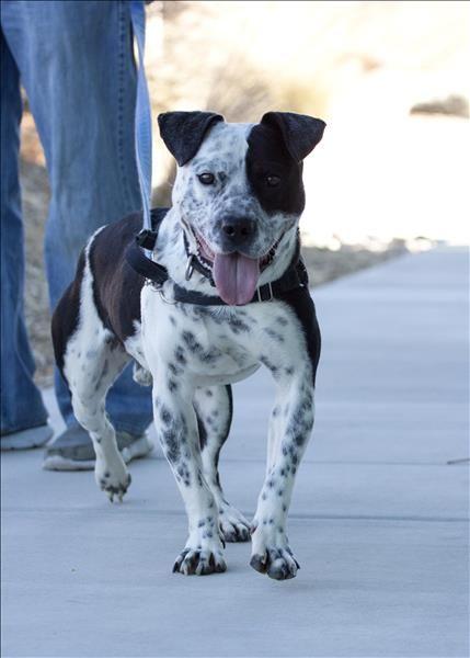10 best pit/heeler (Gracie) images on Pinterest | Pit bull ...