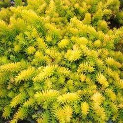 Besoin d'une plante lumineuse ? Choisissez le Sedum 'Angelina Yellow' Le sedum 'Angelina Yellow' est une vivace au feuillage jaune verdâtre et pointu. Ses fleurs sont jaunes et à l'automne, sont feuillage prend des teintes rouge-orangé. Cette plante à une croissance rapide et peut se naturaliser rapidement au jardin. Comment planter un Sedum 'Angelina Yellow' ?