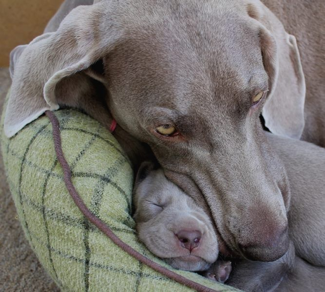 I'm jealous of the little puppy, weimaraners are so affectionate and their coat feels like velvet..