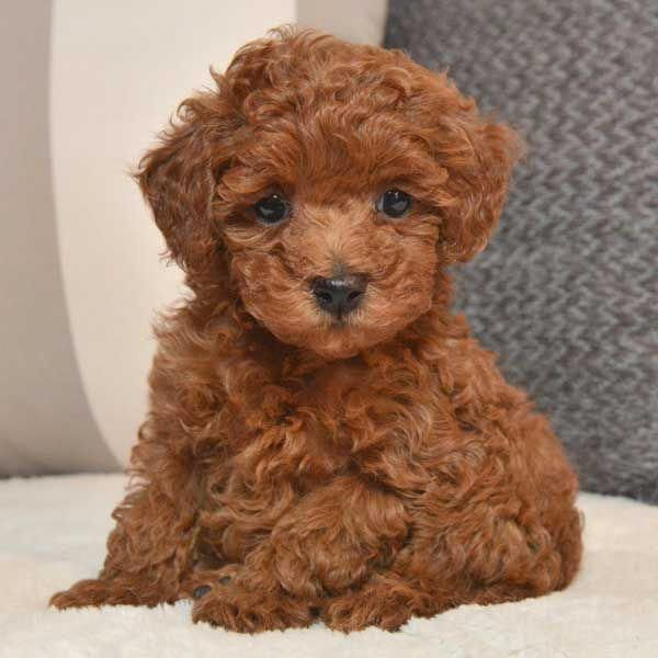 More About The Poodle Dogs Size Poodleboy Minipoodle