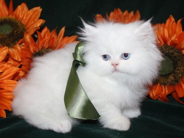 Blue Eyed White Teacup Persian Kittens CatsCreation