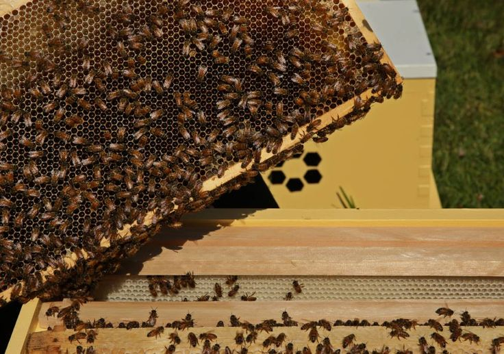 We are family: A single colony can have 50,000 to 80,000 bees with only one queen bee. Urban Hum focuses on single-origin honey from each colony.