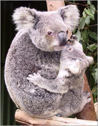 Koala baby & Mom <3