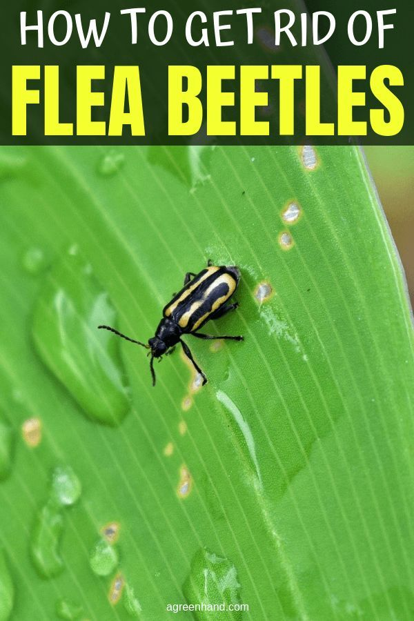 b81a816ef1d267426dfd498303d8fe95 - How To Get Rid Of Flea Beetles In House