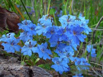 Blue Lechenaultia A local, yep it's native. Great colour and BONUS, it flowers in winter / spring. So again some added colour in that rainy gloomy time of year. Sun / part shade, don't expect much more than 50cm from it. Can get a white flower also.