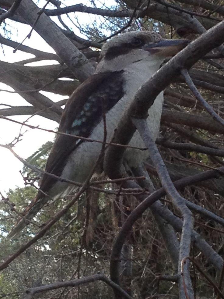 A kookaburra visiting the Williamstown Botanic Gardens