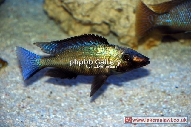 1000+ images about fish on Pinterest Cichlids, Search and Livingston