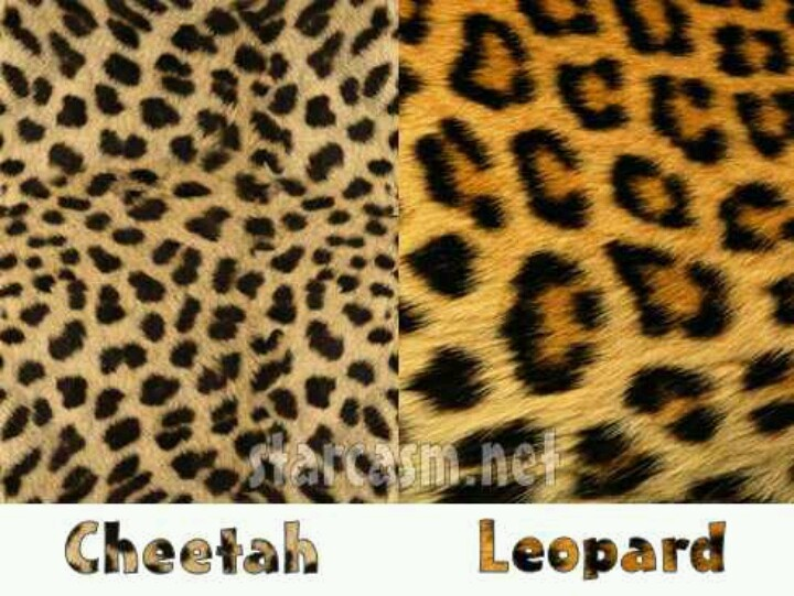 cb245cb91d6b the difference between leopard and cheetah. it kills me when they get mixed  up | My Style | Leopard tattoos, Leopard print tattoos, Cheetah print  tattoos