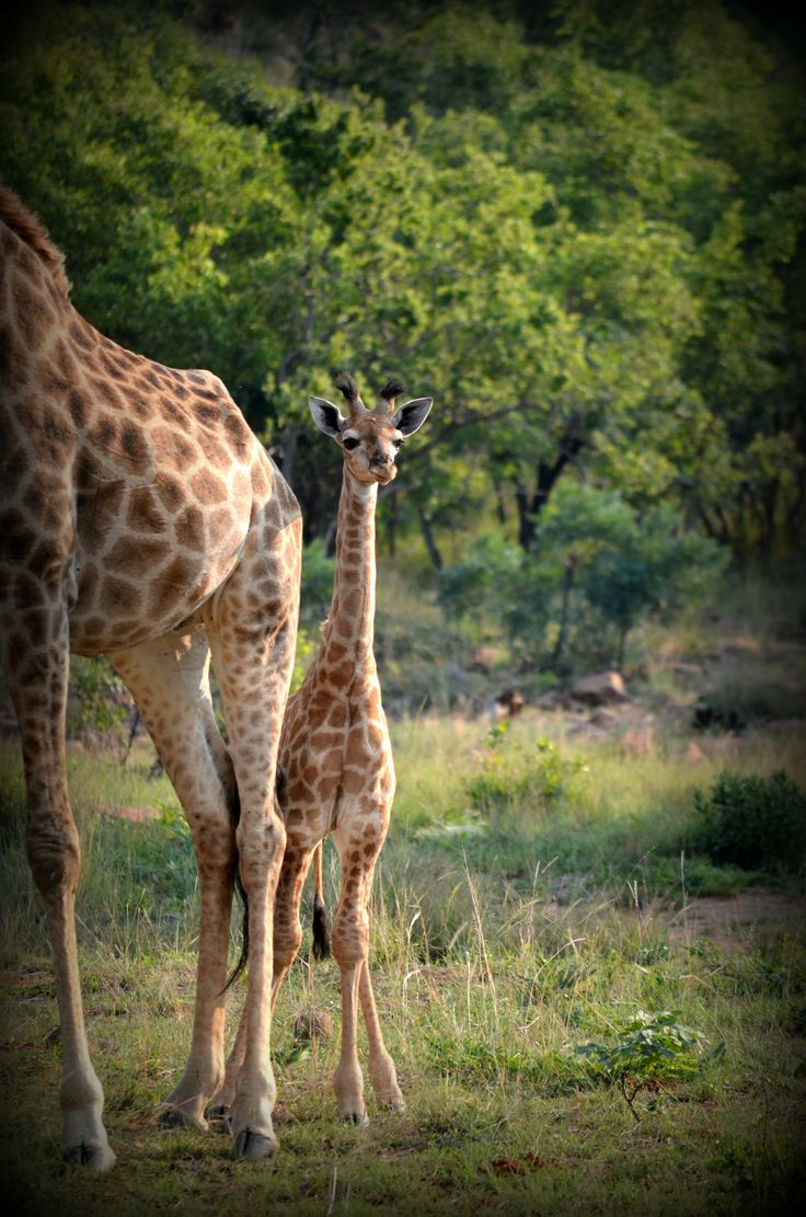 Giraffes at Kamonande Game Reserve, Limpopo, South Africa.