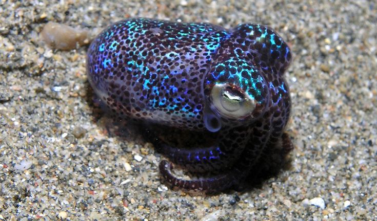 Hummingbird bobtail squid. Euprymna berryi. These iridescent squid maintain their stunning glow with the help of bacteria. It's light organs contain special filters that can alter the wavelength of the luminescent light to match that of moon- or starlight, which beams down on the ocean when it comes out to hunt.