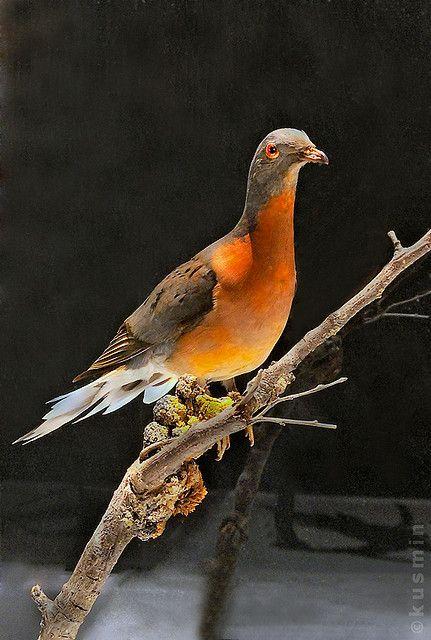 Passenger Pigeon (Ectopistes migratorius) Vancouver Museum collection, BC. Extinct.