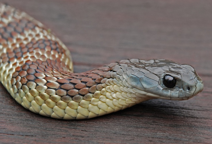 110 Best Images About Snakes On Pinterest Pit Viper