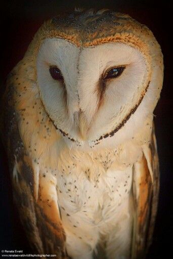 Western Barn Owl                                                                                                                                                                                 More