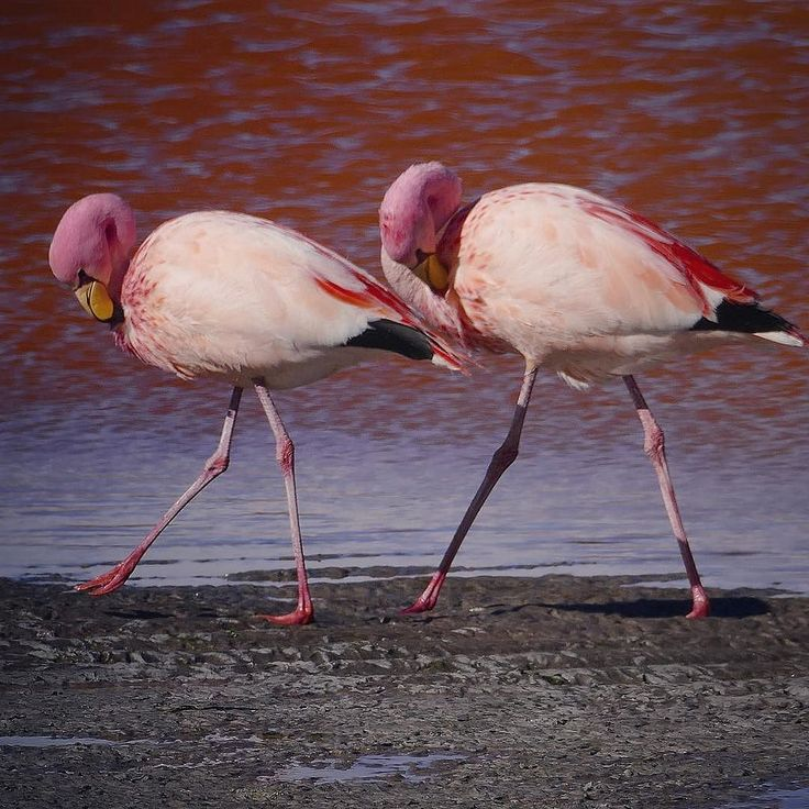 """Salar de Uyuni Tour 12""  #bolivia  2015 Skip Hunt #travel #southamerica #Andes #adventure #altiplano #mountains #salardeuyunitour #wildlife #birds #flamingo"