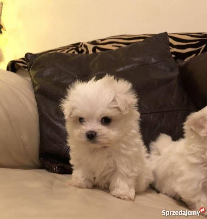 Herbata Maltese Szczeniaki Potrzebuje Nowej Rodziny Dogs Animals