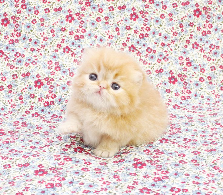 Persian kittens for sale -