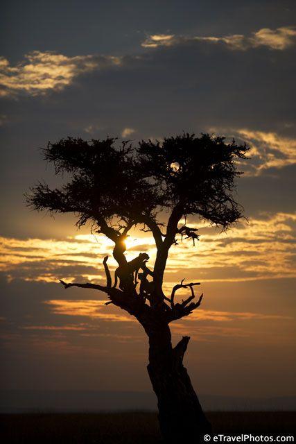 Cheetahs in a tree, Masai Mara, Kenya, Africa