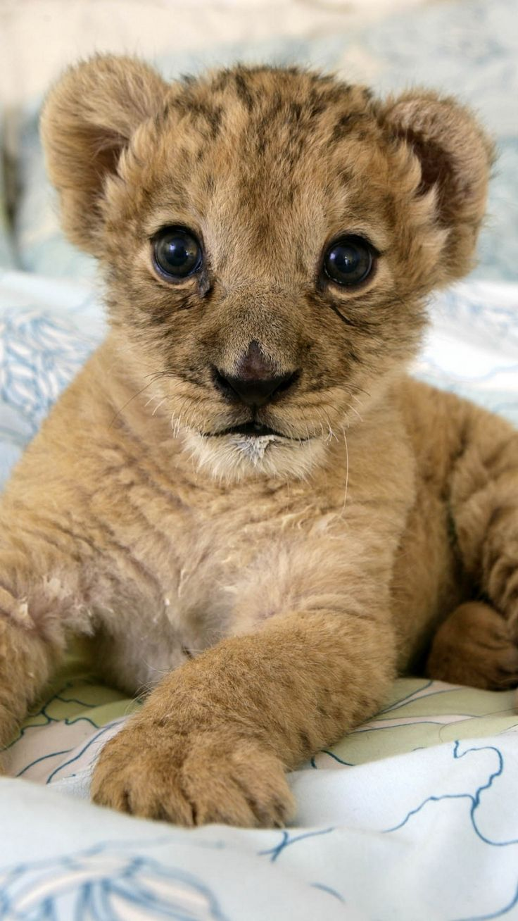 """AND, OF COURSE, A CUTE PET LION CUB to curl up on the end of my bed. I think I'll probably name her Nzinga which is a Central African name for """"Beautiful""""."""