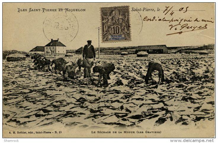 """Carte postale """"Le séchage de la morue"""" Editeur A.M. Brehier N° 19 Le gravier est chargé du lavage et du séchage de la morue. La morue est conservée en la faisant sécher dans des """"chauffauds"""" ou sur des plages de galets, les """"graves""""."""