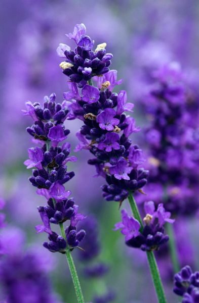 Lavandula angustifolia 'Imperial Gem' A compact, bushy variety of English Lavender which is covered with masses of tightly packed, rich purple flowers in summer. These contrast beautifully with the silver-grey foliage. HxS 60cmx45cm. Fl. July-Sept.