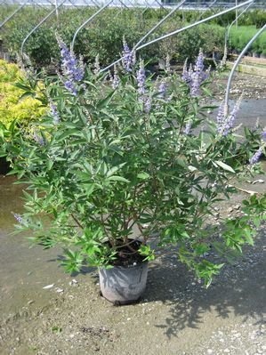 Chaste #Tree is one of only a handful of winter-hardy trees that blooms with true-blue #flower spikes all summer long. You will be hard-pressed to find a more spectacularly beautiful #plant with more outstanding qualities. Your Chaste Tree has handsome and aromatic green foliage with a decidedly silvery cast. Then, as summer heats up, your Chaste Tree will astound you with its impressive blue spikes that bloom right up until #autumn.