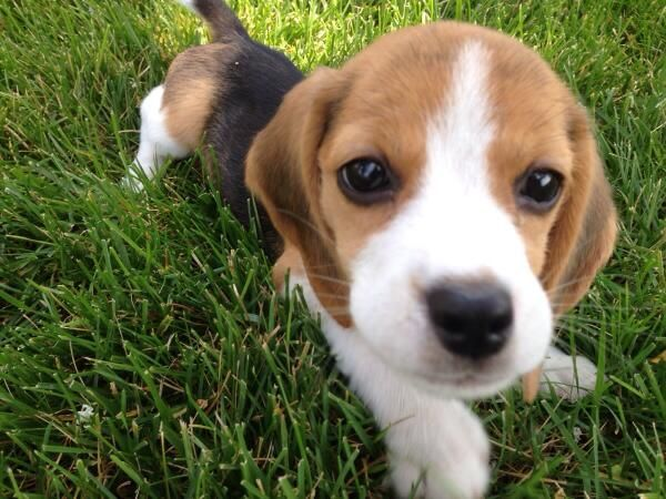 Makes Me Miss My Dog I Left In Colorado Beagle Puppy Cute Beagles