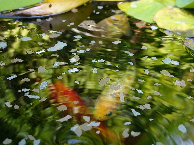 1000 Images About Fish Ponds On Pinterest Gardens