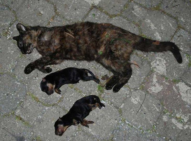 Kedi gibi evcil hayvanların zehirlenmesi genellikle dikkatsizlik sonucunda olmaktadır. Dikkatsizlik büyük bir etken olmasına rağmen kedi dostlarımızın zehirlenmesi için çok fazla sebep bulunmaktadır. Detaylar ajanimo.com'da.. #ajanimo #ajanbrian #hayvan #animal #kedi #cat #sağlık