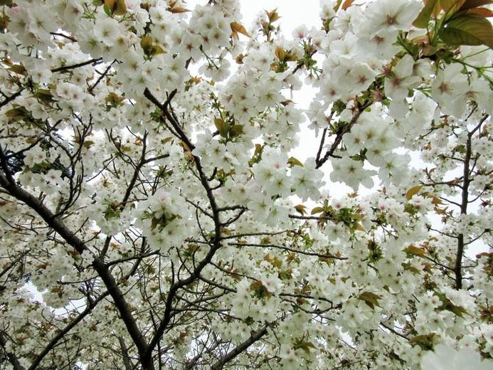 5ft Great White Cherry Blossom Tree Bare Root Prunus Tai Haku 29 99 Cherry Trees Garden Cherry Blossom Tree Potted Trees