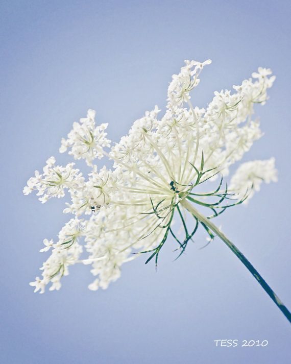 Queen Annes Lace Photography -  Blue And White Photo -  8 x 10 - Nature- Botanical - Summer Flowers