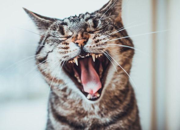 Is It Normal For Cats To Lose Their Teeth Haustiere Katzen Fakten Echte Katzen