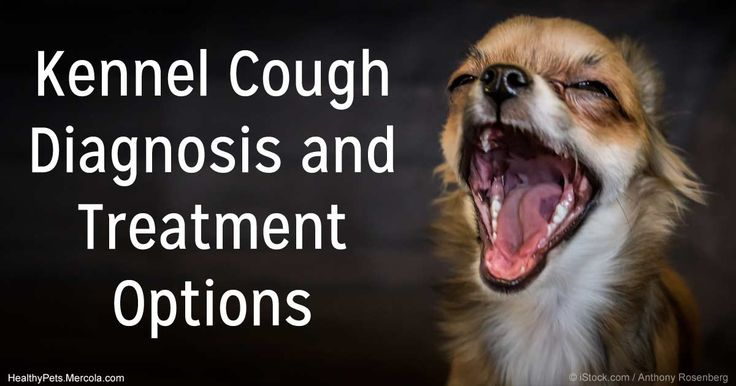 Kennel cough is an upper respiratory infection caused by the presence of both the parainfluenza virus and the Bordetella bronchiseptica bacteria. http://healthypets.mercola.com/sites/healthypets/archive/2012/10/08/cough-treatment-for-dogs.aspx