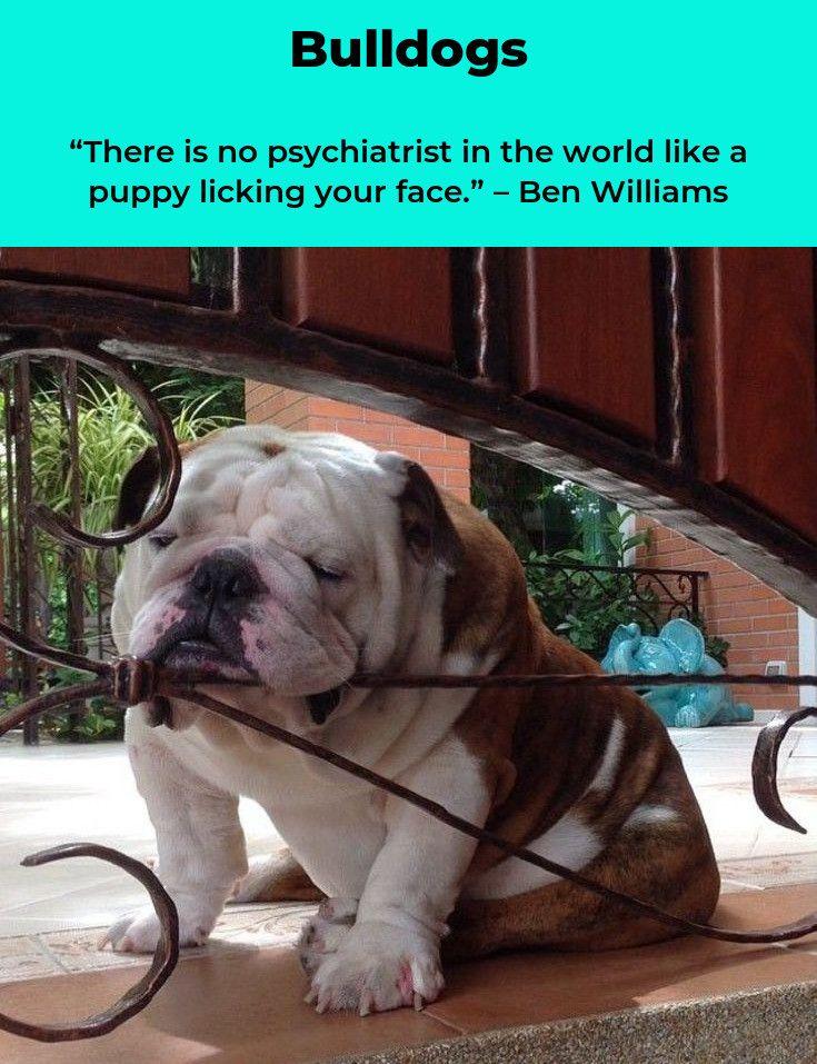 Bulldog Puppies Bulldogsinstagram Bulldogslife Bulldog