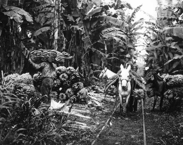 Harvesting bananas. United Fruit Company Photograph Collection Copyright 2009, President and Fellows of Harvard College; all rights reserved.