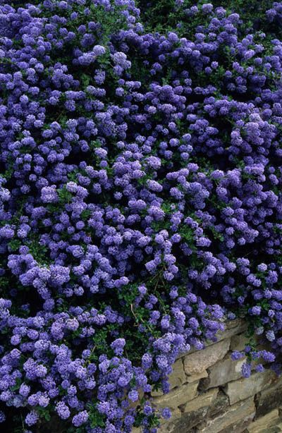 Ceanothus (aka California Lilac) Profuse, richly coloured blue to purple flowers (depending on variety) bloom over lush foliage. If pruning required - Immediately after flowering.