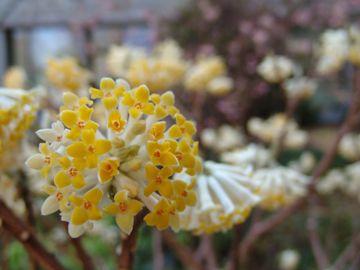 Edgeworthia chrysantha photo credit: R. Maurer