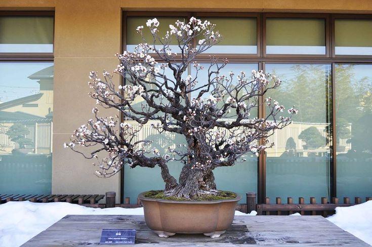 Prunus mume, Omiya Bonsai Museum