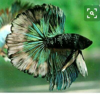 Exquisite betta fish