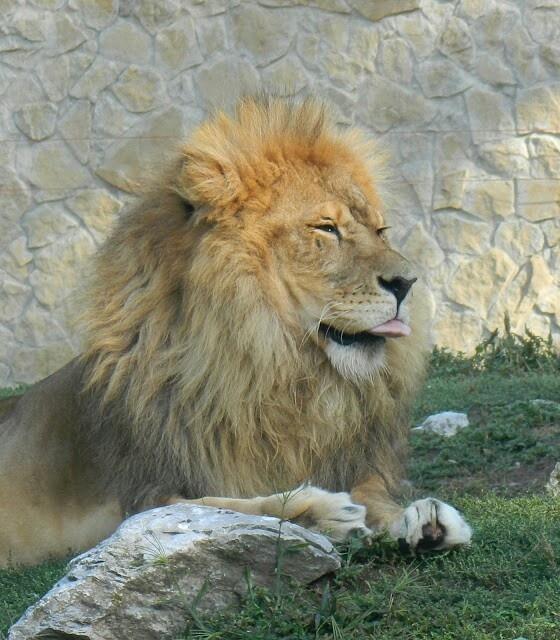 Lion ♡ A debreceni állatkert oroszlánja. Mert hogy imádom a nagy cicákat.