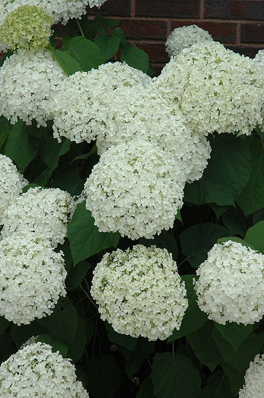 Click to view full-size photo of Incrediball Hydrangea (Hydrangea arborescens 'Abetwo') at Stein Gardens & Gifts