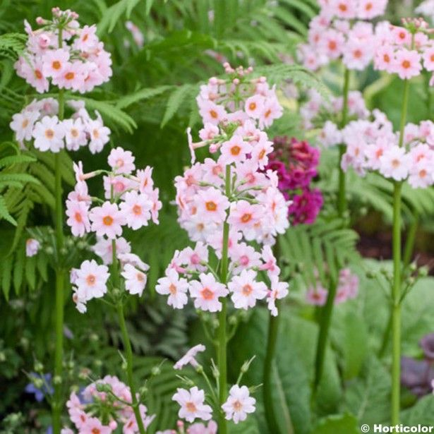 Primevère+japonaise+-+Primula+japonica+Apple+Blossom H60 F05/06