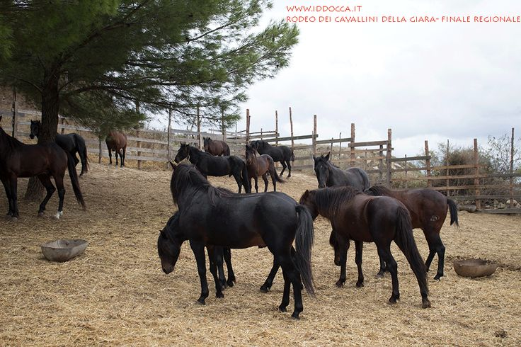 I cavallini della Giara!