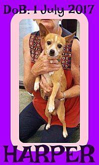 White River Junction, VT - Terrier (Unknown Type, Medium) Mix. Meet HARPER, a puppy for adoption. http://www.adoptapet.com/pet/19408742-white-river-junction-vermont-terrier-unknown-type-medium-mix